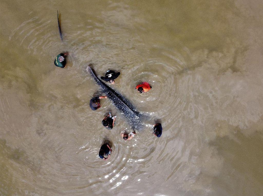 Hiu Paus Tutul Terdampar di Sungai Wanggu