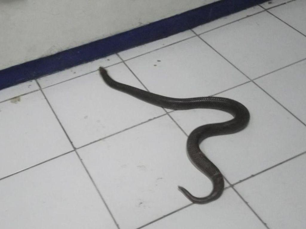 Dari Sekitar Bengkel di Klaten Ini Sudah 30 Ekor Ular Kobra Ditangkap