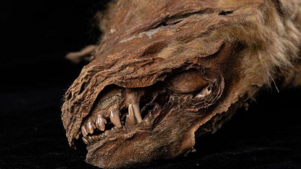 Foto: Fosil Serigala Tertua dan Terlengkap Ditemukan di Kanada