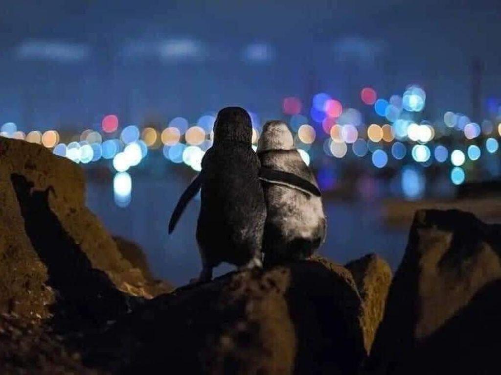 Foto: Pasangan Penguin yang Saling Menguatkan Satu Sama Lain