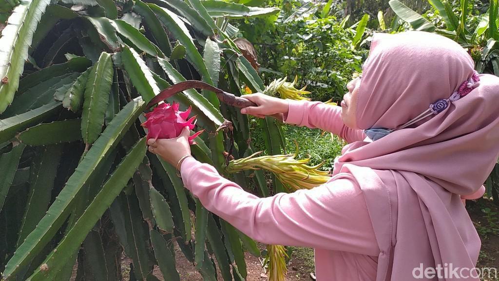 Foto: Sensasi Memetik dan Mencicipi Buah Naga Langsung di Kebunnya