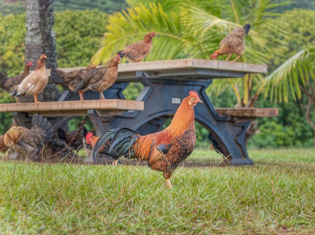 Main ke Pulau Ini Bakal Disambut Ribuan Ayam Liar