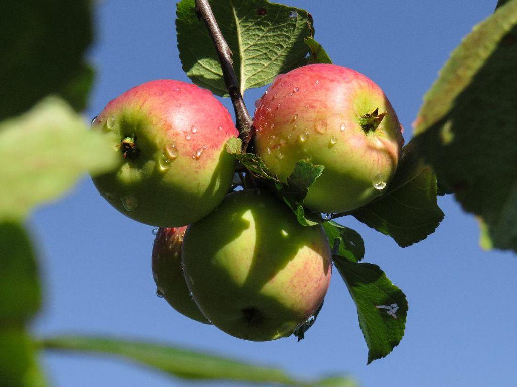 6 Agrowisata Malang untuk Makan Apel Sepuasnya