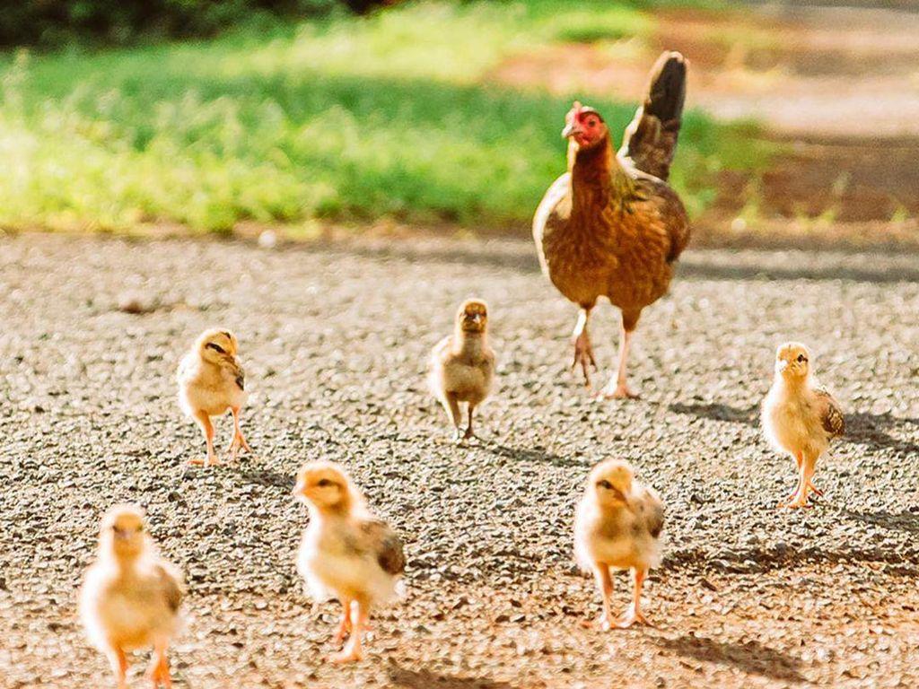 Ayam Seharga Rp 2 Juta Dicuri, Aksi Pelaku Terekam CCTV