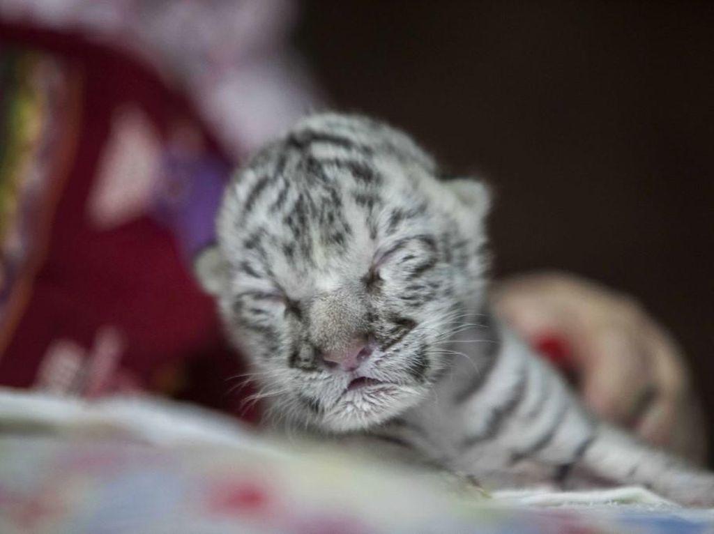 Kasihan, Anak Harimau Putih Langka Ditolak Induknya