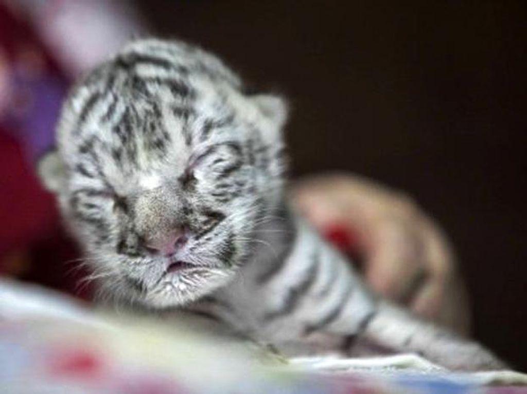 Dua Bayi Harimau Putih Mati karena Terpapar Corona