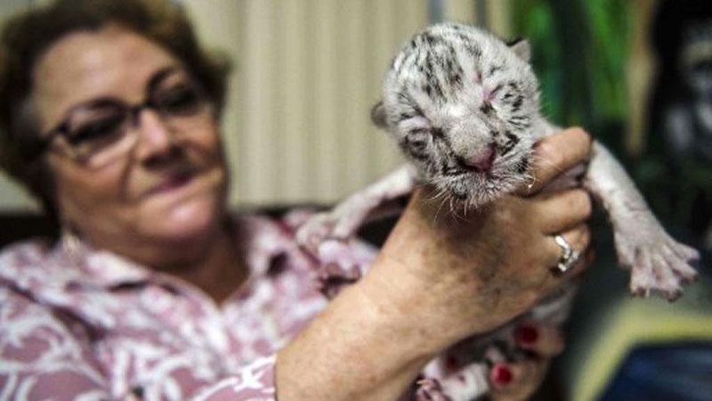 Langka! Harimau Putih Lahir di Nikaragua