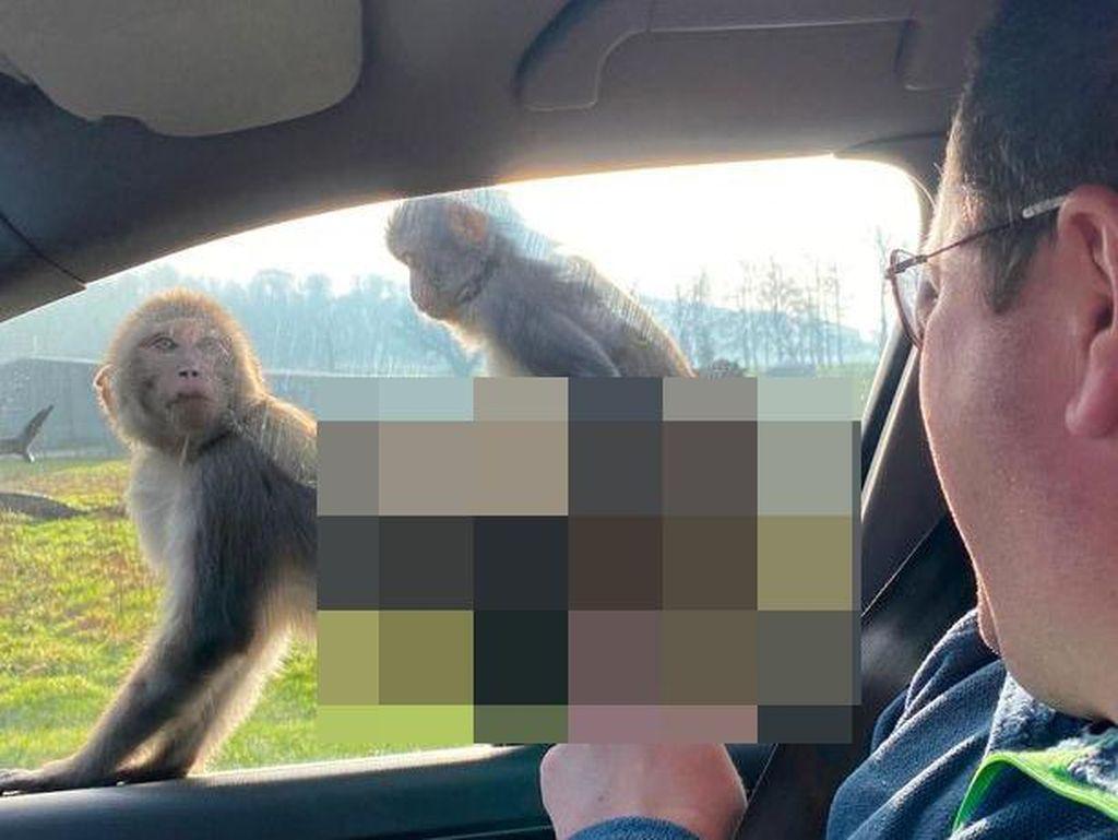 Monyet Asyik Bercinta di Jendela Mobil Turis Saat Safari