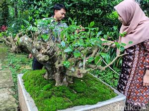 Pohon Teh dalam Pot Berusia 120 Tahun di Bandung Akan Dilelang, Minat?