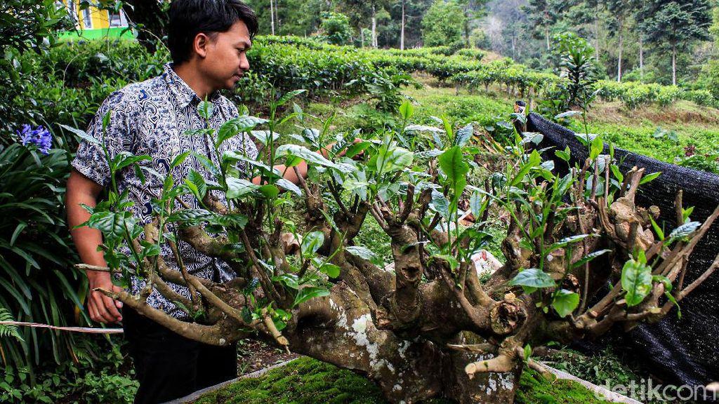Potret Emas Hijau di Bandung, Teh Bersejarah Berusia Ratusan Tahun
