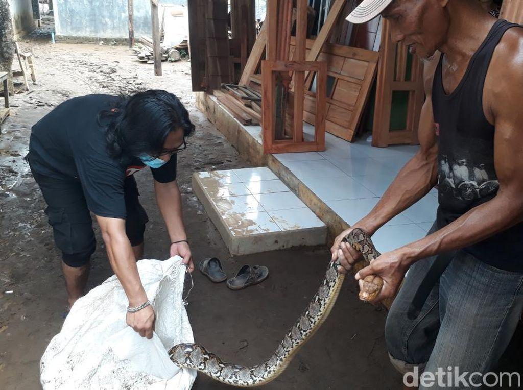 Sanca 3.5 Meter Ditangkap Warga Saat Banjir di Pasuruan