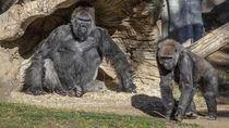 Foto: Gorila di Kebun Binatang AS Terinfeksi Virus Corona
