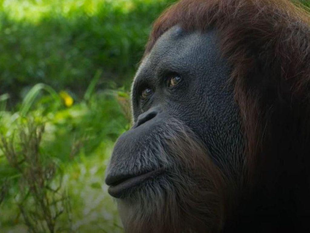 Tertua di Dunia, Orang Utan Asal Sumatera Mati di Kebun Binatang AS
