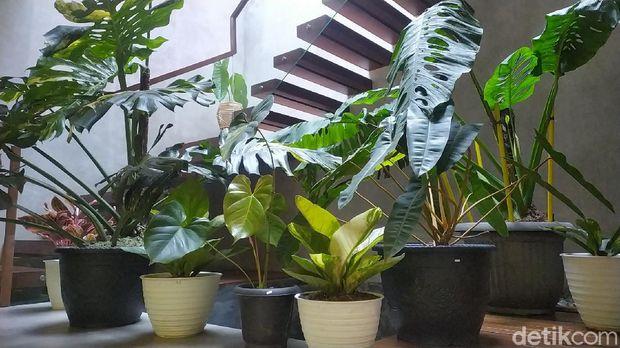 Penampakan puluhan tanaman hias yang dibarter dengan rumah Rp 500 juta