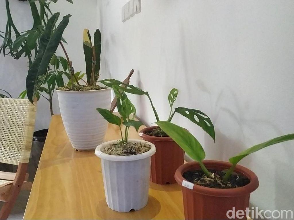 Heboh Rumah Rp 500 Juta Dibarter Tanaman, Ini Beda Flora Mahal-Murah