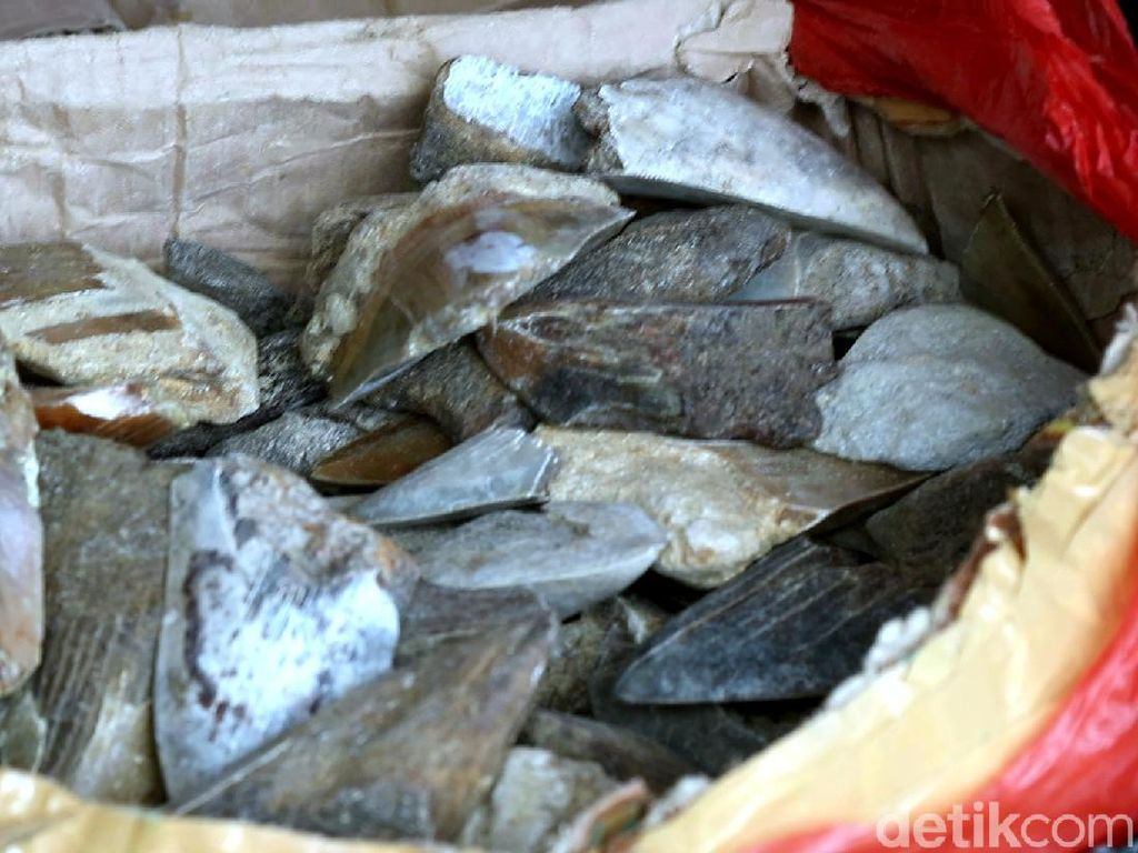 Perburuan Gigi Hiu Purba Megalodon di Sukabumi