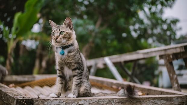 kucing ngeong