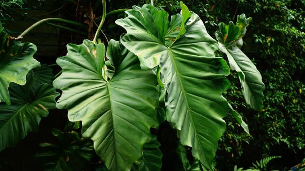 tanaman hias aroid