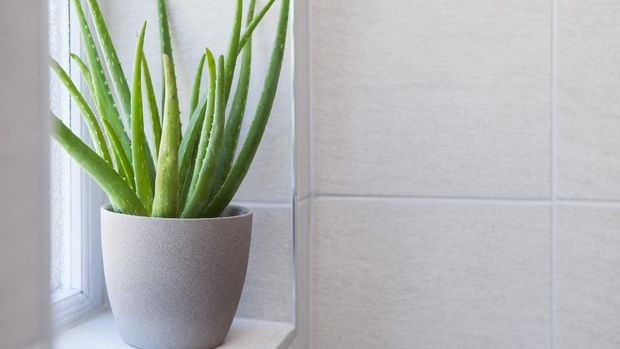 Aloe Vera plant in a pot in a tiled bathroom with copy space to the right