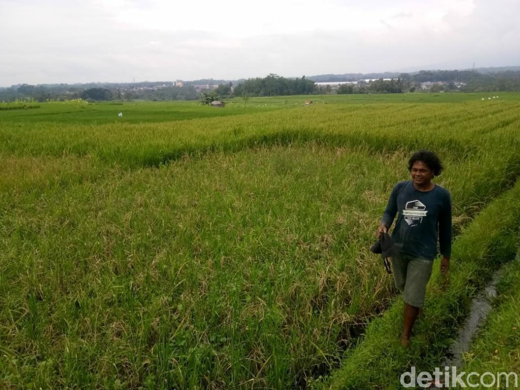 36 Hektare Sawah di Ciamis Rusak Diserang Hama Tikus