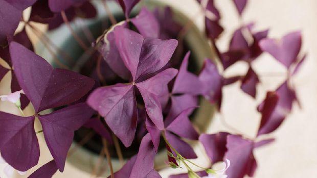 Purple Oxalis Triangularis