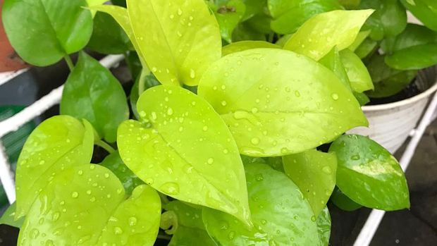 tanaman hias sirih gading