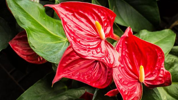The red, heart-shaped flower of Anthuriums is really a spathe or a waxy, modified leaf flaring out from the base of a fleshy spike