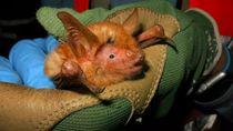 Ditemukan Spesies Baru Kelelawar Berwarna Oranye