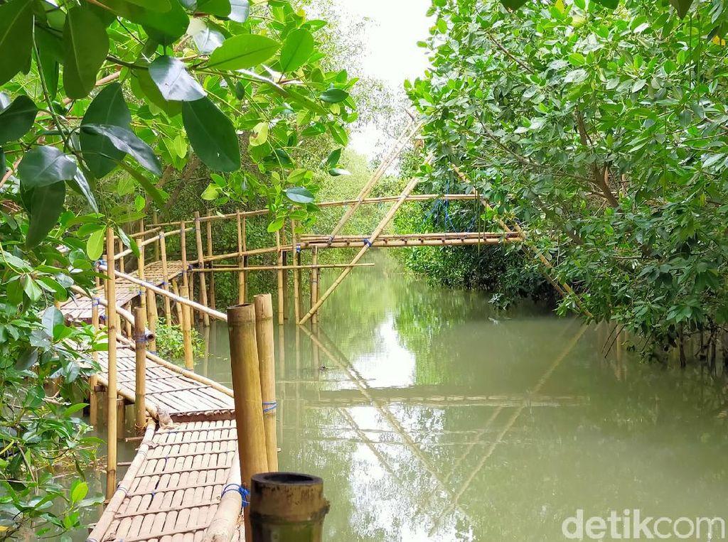 Melihat Konservasi Cemara, Penyu dan Bakau di Pantai Cemara Banyuwangi