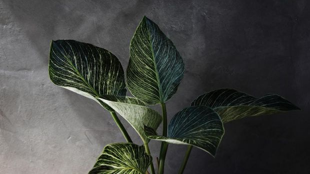 Art of Philodendron Birkin with cement wall background