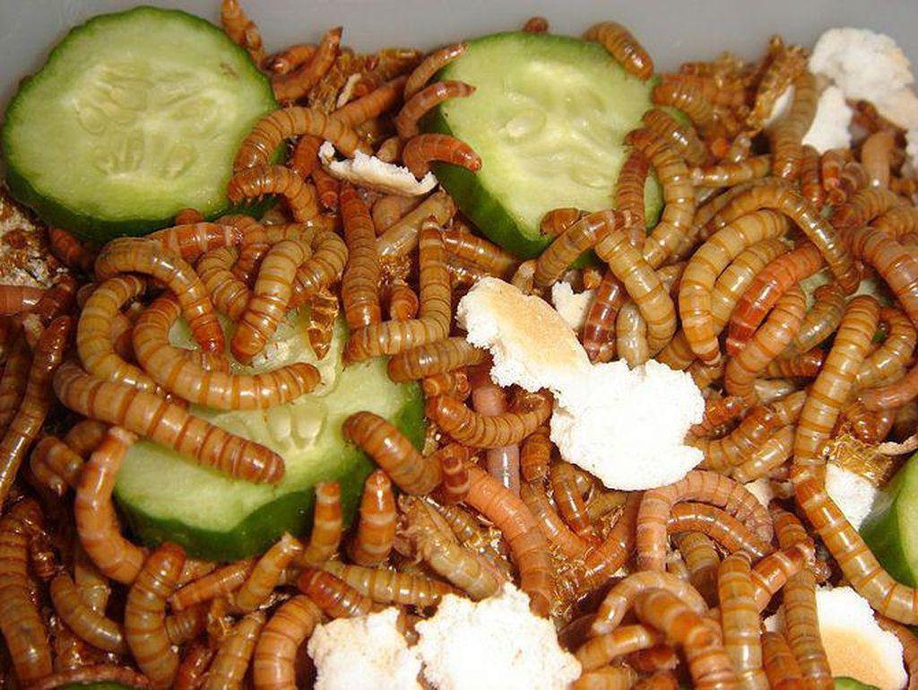 Ulat Hong Kong Jadi Serangga Pertama yang Disetujui Sebagai Makanan di Eropa