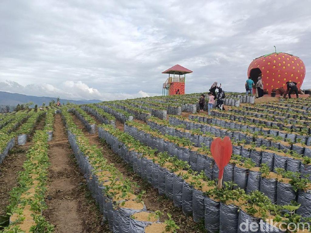 Serunya Menikmati Wisata Petik Stroberi di Solok