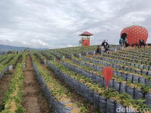 Rekomendasi Wisata Hits di Solok: Kebun Strawberry