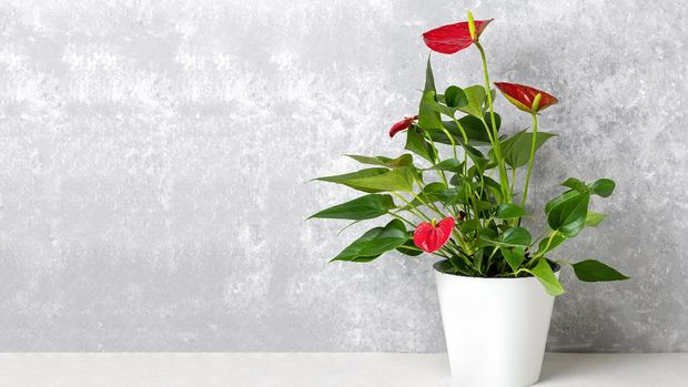 House plant Anthurium in white flowerpot isolated on white table and gray background Anthurium is heart - shaped flower Flamingo flowers or Anthurium andraeanum, Araceae or Arum symbolize hospitality.