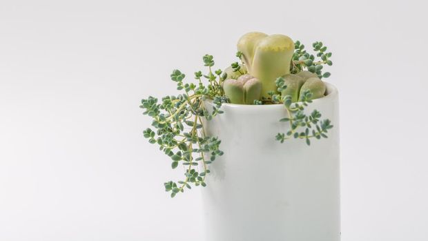 Health, shadow, succulent plant, sedum, genus, plant, flower, flowerpot, chinese, green, pink, culture, cute, wallpaper, picture, bonsai, ceramic, flowerpot, small, butt flower, nobody, water drop , Simple, neglected, round, full, sunny, outdoor, indoor, stylish, decorative, ornamental, potted, gardening, anhydrous, striped, blue, color, indoor, garden, fresh, juicy, background, decoration, raw Stone flower, white, porcelain bottle, oil painting, gouache, painting, hand painted, material, vintage, red,