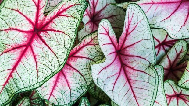 Close up of a grouping of Caladium  leaves