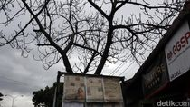 Hati-hati! Puncak Musim Hujan Pohon Rawan Tumbang