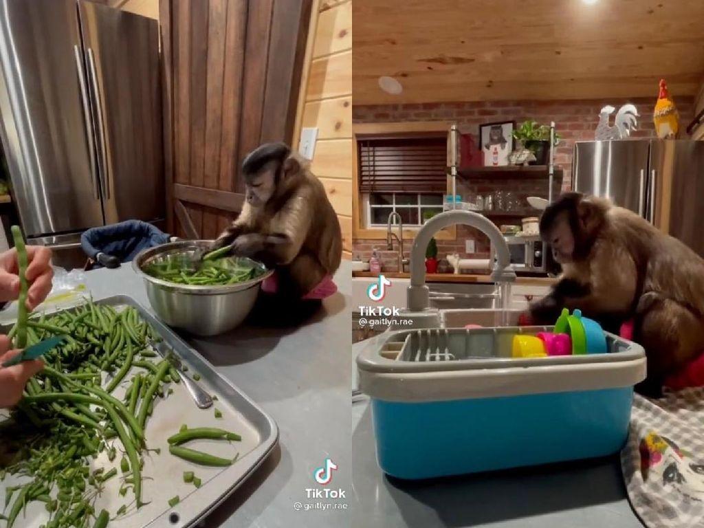 Lebih Berguna dari Mantan, Monyet Ini Jago Bantu Masak