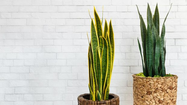 Sansevieria trifasciata in pots over white brick wall, free space