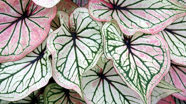 Decorative Leaves Foliage of Caladium Plant as Natural Texture Background