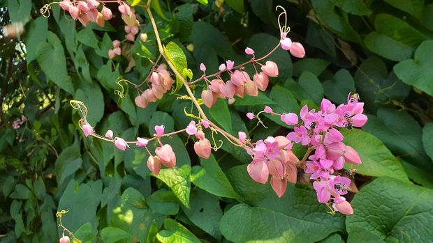 Vines that die hard to grow quickly. With beautiful pink flowers planting decorations along the fence of the house or wooden frames in the garden at home Shade when making arches