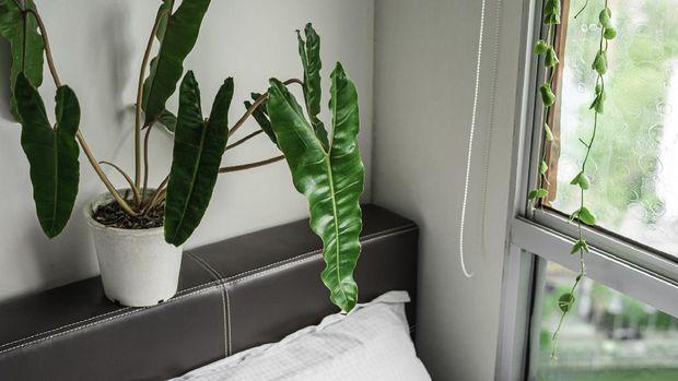 Tanaman Hias Philodendron Billietiae