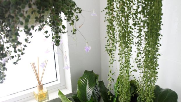 String of Pearls (Senecio rowleyanus) and Nodding Violet (Streptocarpus Caulescens) plants.