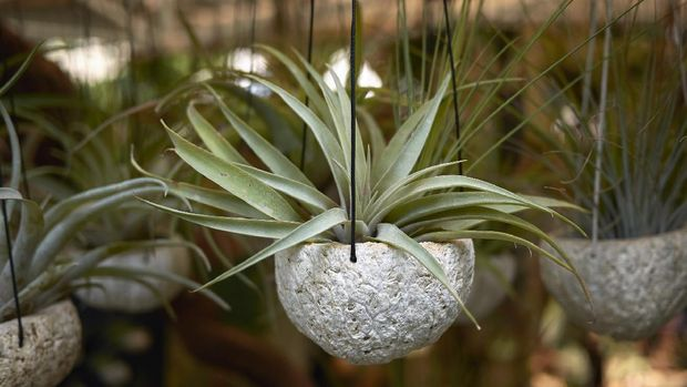 Tillandsia close up