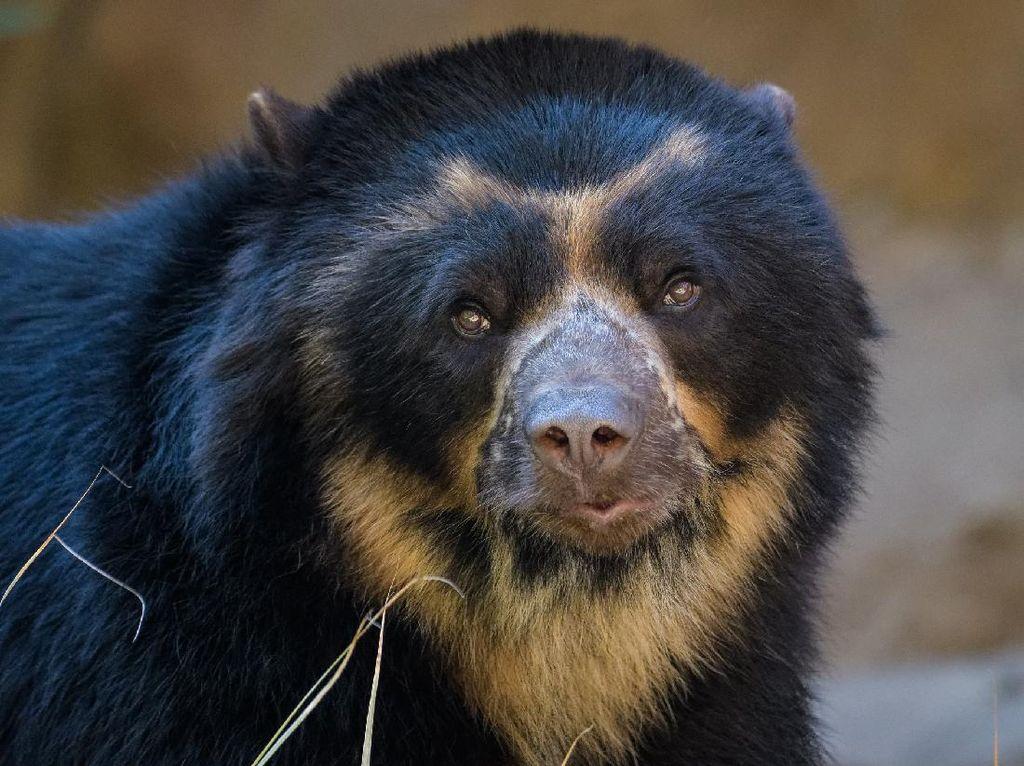 Malang, Wanita Ini Diserang Beruang Saat Sedang di Toilet