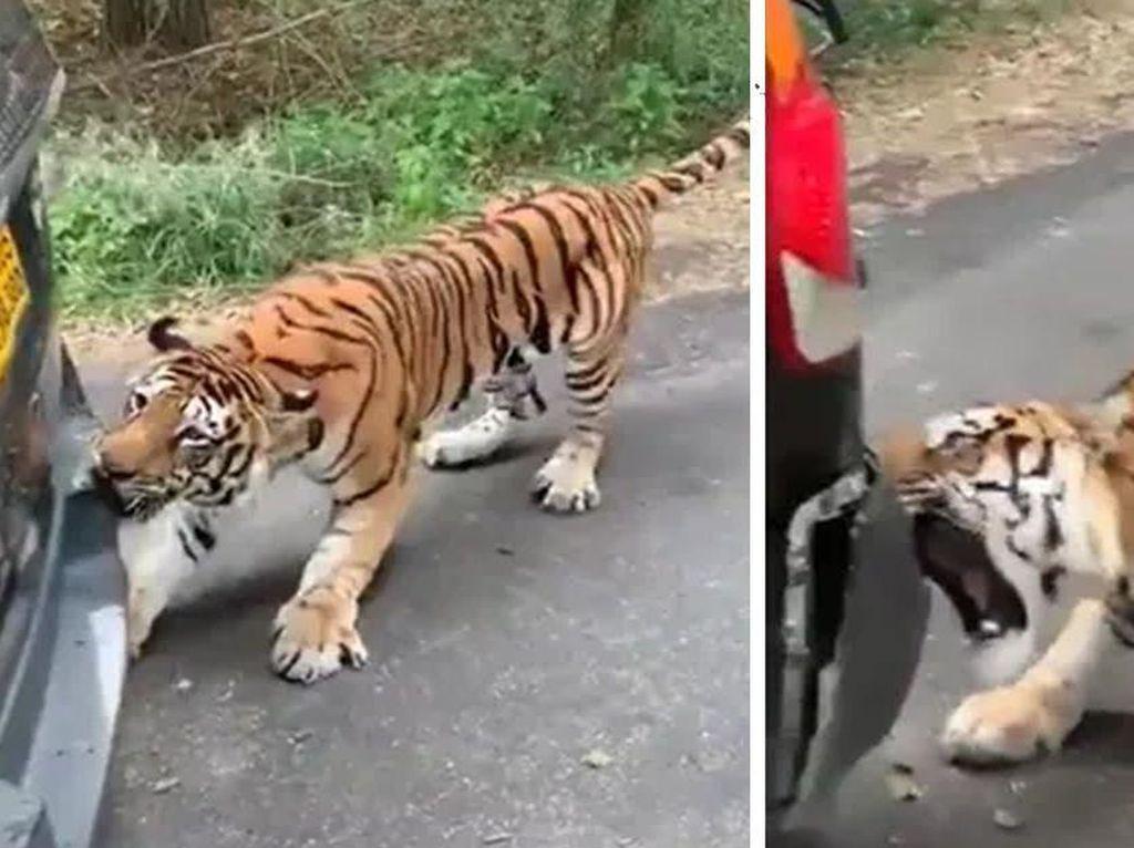 Hii.. Detik-detik Harimau Rusak Bemper Hingga Tarik Mundur Mobil SUV