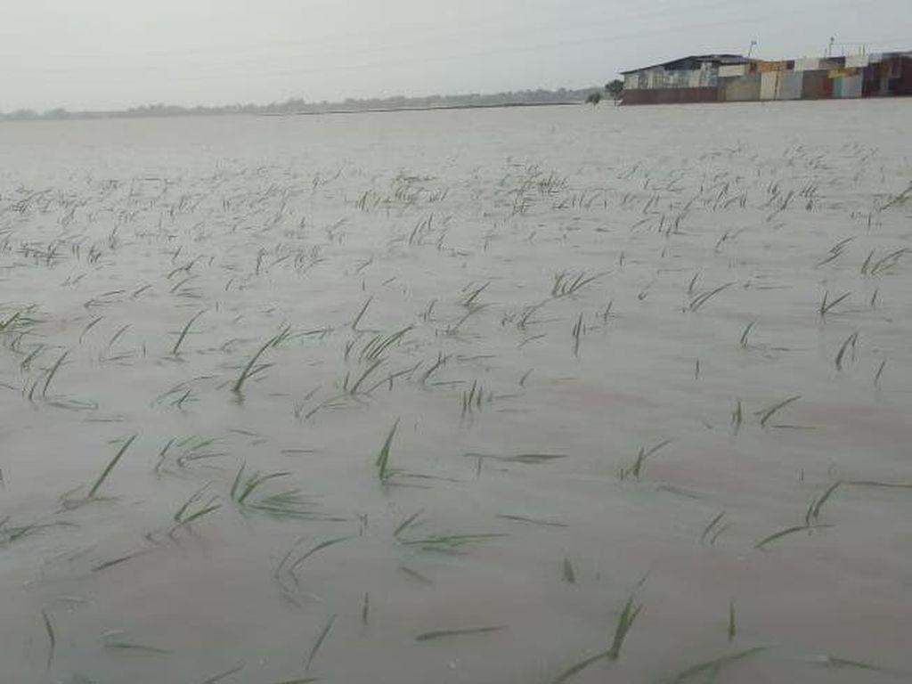 5.287 Hektare Sawah di Cirebon Terancam Puso Gegara Terendam Banjir