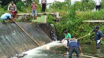 Lagi! Bangkai Babi Jumbo Ditemukan di Sungai Klaten