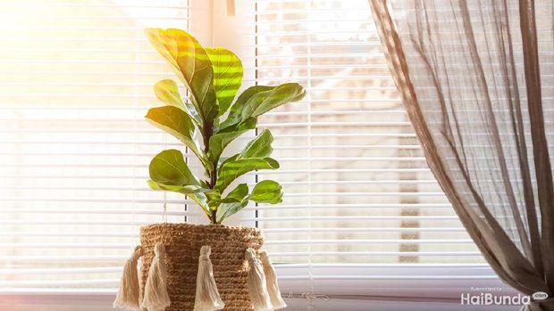 Ilustrasi fiddle leaf fig tree