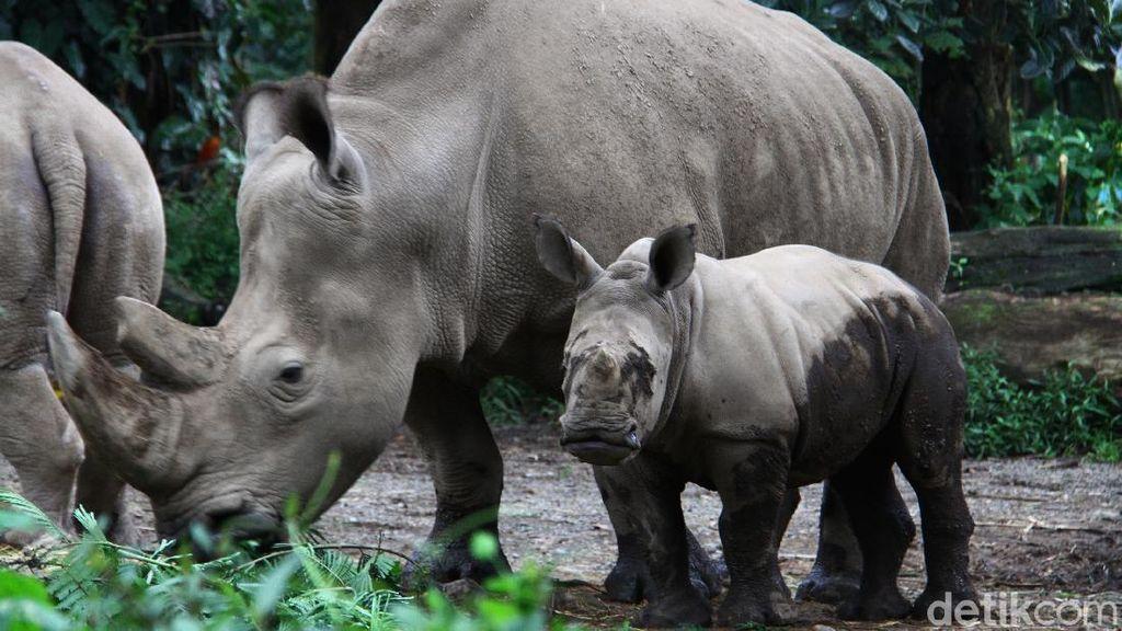Azsyifa Badak Putih Penghuni Baru Taman Safari Indonesia